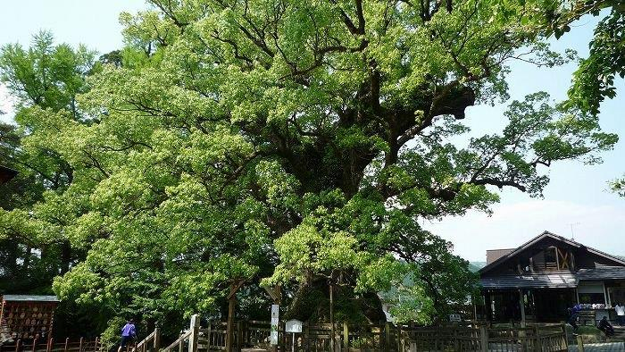 s-鹿児島県蒲生の大楠