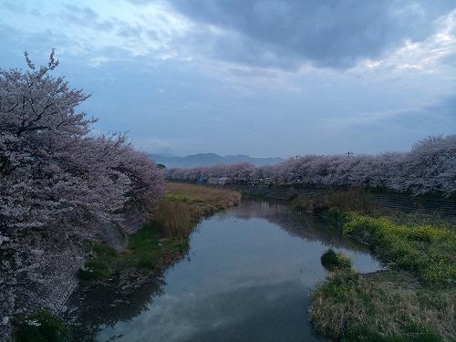 愛媛県今治市 頓田川沿い 満開の桜の下で